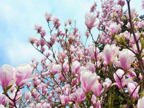 magnolien duftpflanzen mit tradition. Black Bedroom Furniture Sets. Home Design Ideas